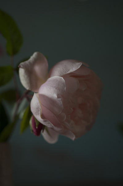 rose_0131