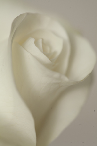 white_rose03Jan2014_0021