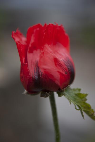 red_poppy_0006