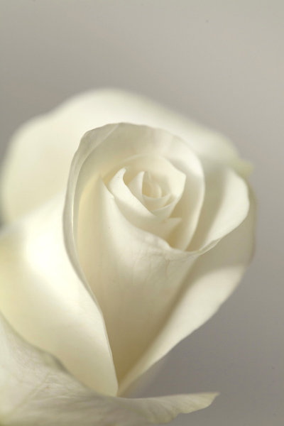 81.single_white_rose