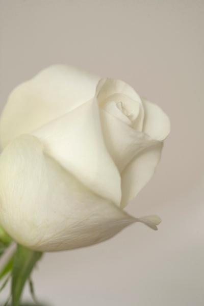 82,white_bud_rose
