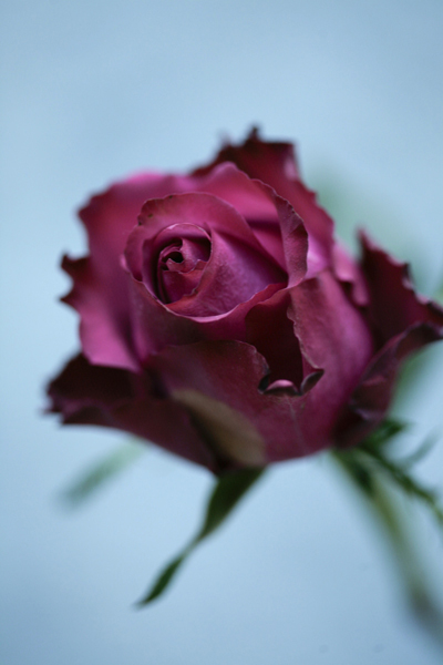 86.deep_red_rose