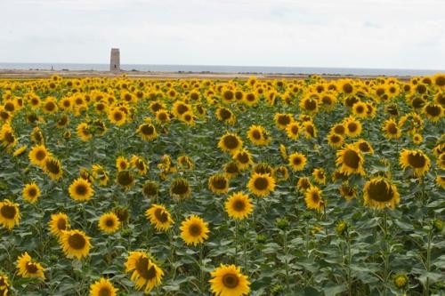 sunflowers_7217