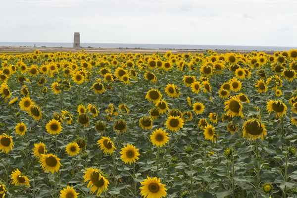 sunflowers_7217