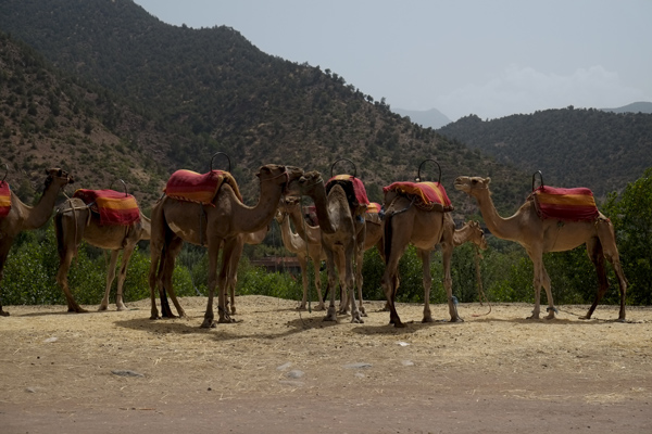 camels19Aug2014_0483
