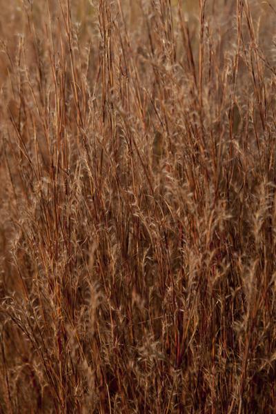 grasses_0026 (1)