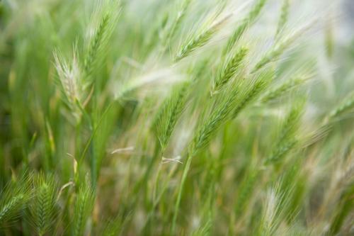grasses_0027 (1)