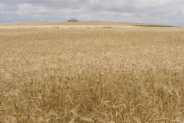 wheat_7212