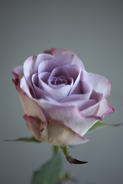 lilac_rose
