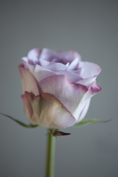 lilac_rose_0017