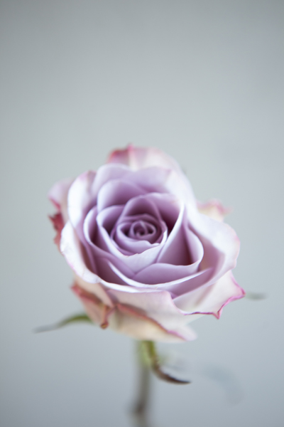 lilac_rose_0021