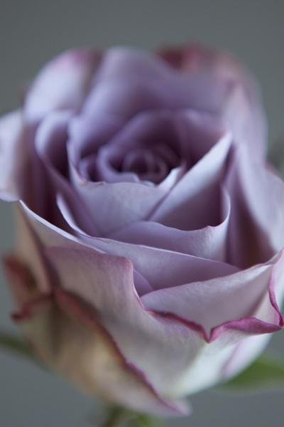 lilac_roseb_0014