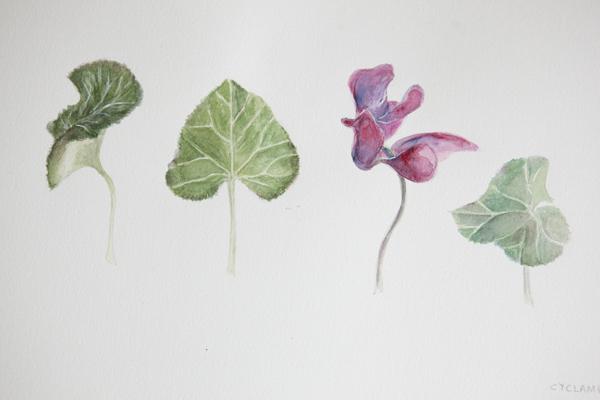 104_cyclamen_leaves