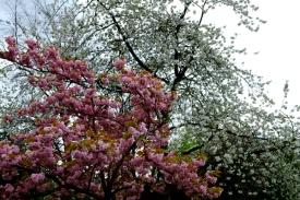 blossom22Apr2015_0018