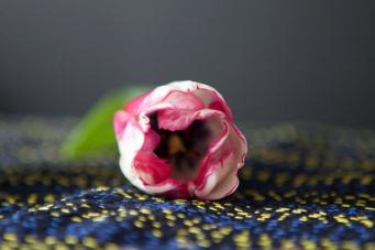 tulip10Apr2015_0094