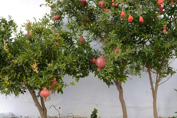 pomegranate24Aug2015_0089