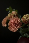 carnations18Sep2015_0012