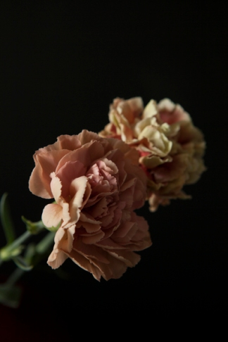 carnations18Sep2015_0044
