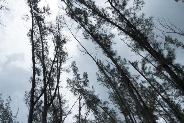 trees15Jul2015_jamaica_0440