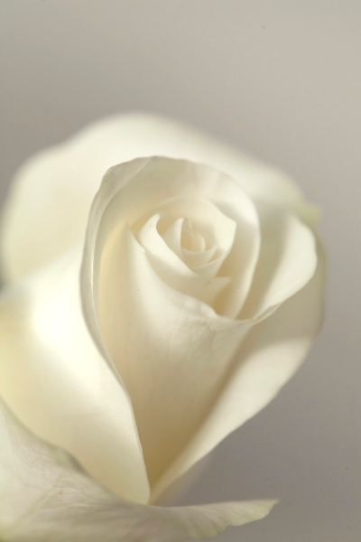 81.single_white_rose