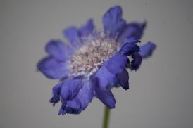 blueflower_0023
