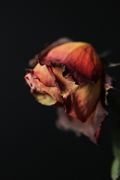 withering-rose