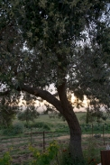 olive_0081