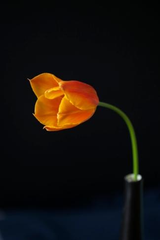 tulip24Apr2018_0007