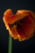 tulip24Apr2018_0014