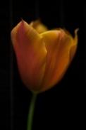 tulip24Apr2018_0022