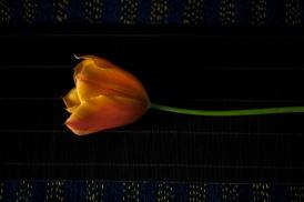 tulip24Apr2018_0024