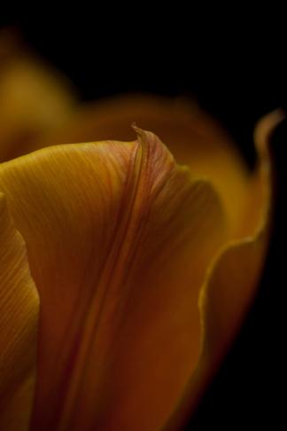 tulip24Apr2018_0030