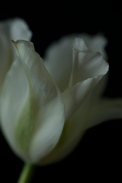 white_tulip25Apr2018_0092