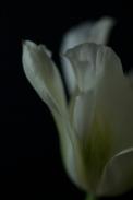 white_tulip25Apr2018_0096