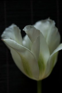 white_tulip25Apr2018_0139