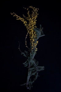 143_mimosa