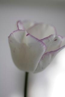 157_white_tulip