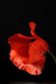 158_orange_poppy