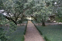 oak_trees_plantation