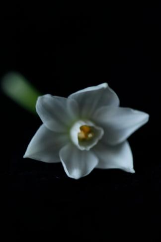 163_white_daffodil