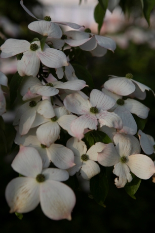 chinese_dogwood_tree
